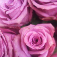 薔薇、好き❤️